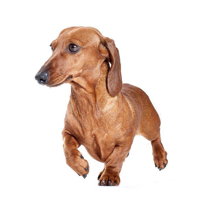 http://www.wikichien.fr/wp-content/uploads/sites/4/chien_de_race_teckel.jpg