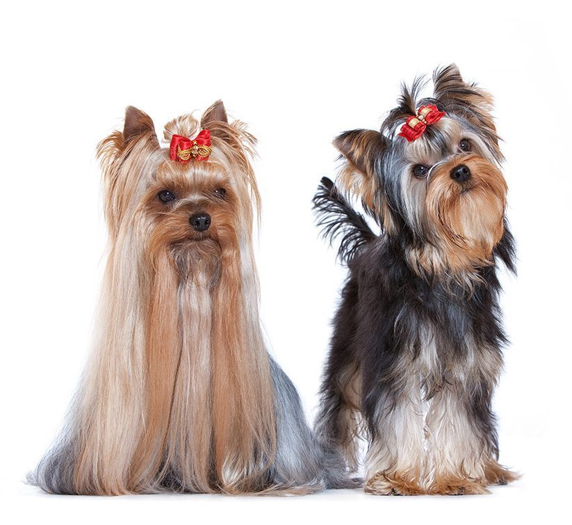 http://www.wikichien.fr/wp-content/uploads/sites/4/chien_de_race_yorkshire-terrier.jpg
