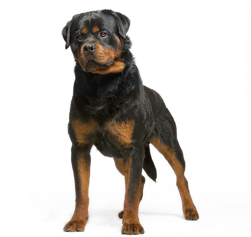 http://www.wikichien.fr/wp-content/uploads/sites/4/chien_rottweiler.jpg