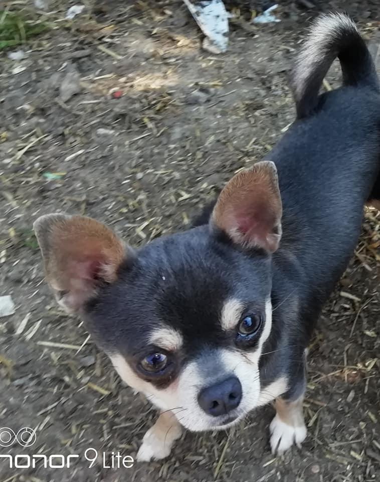 Chiot Chihuahua : 1  mâle - femelles 4 245024