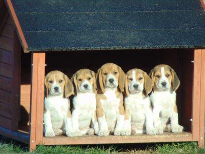 Chiot Beagle : 4  mâles – femelles 3 245809