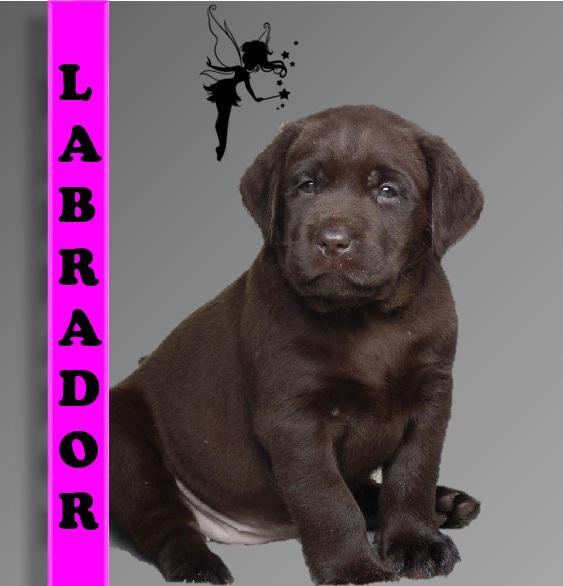 Chiot Labrador retriever : 5  mâles – femelles 2 242076