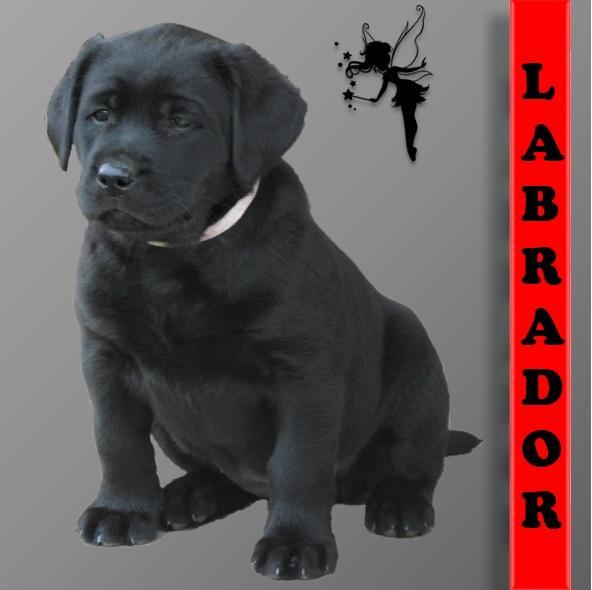 Chiot Labrador retriever : 5  mâles - femelles 4 244963