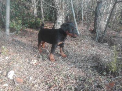 Chiot Jagd terrier : 5  mâles – femelles 2 231802