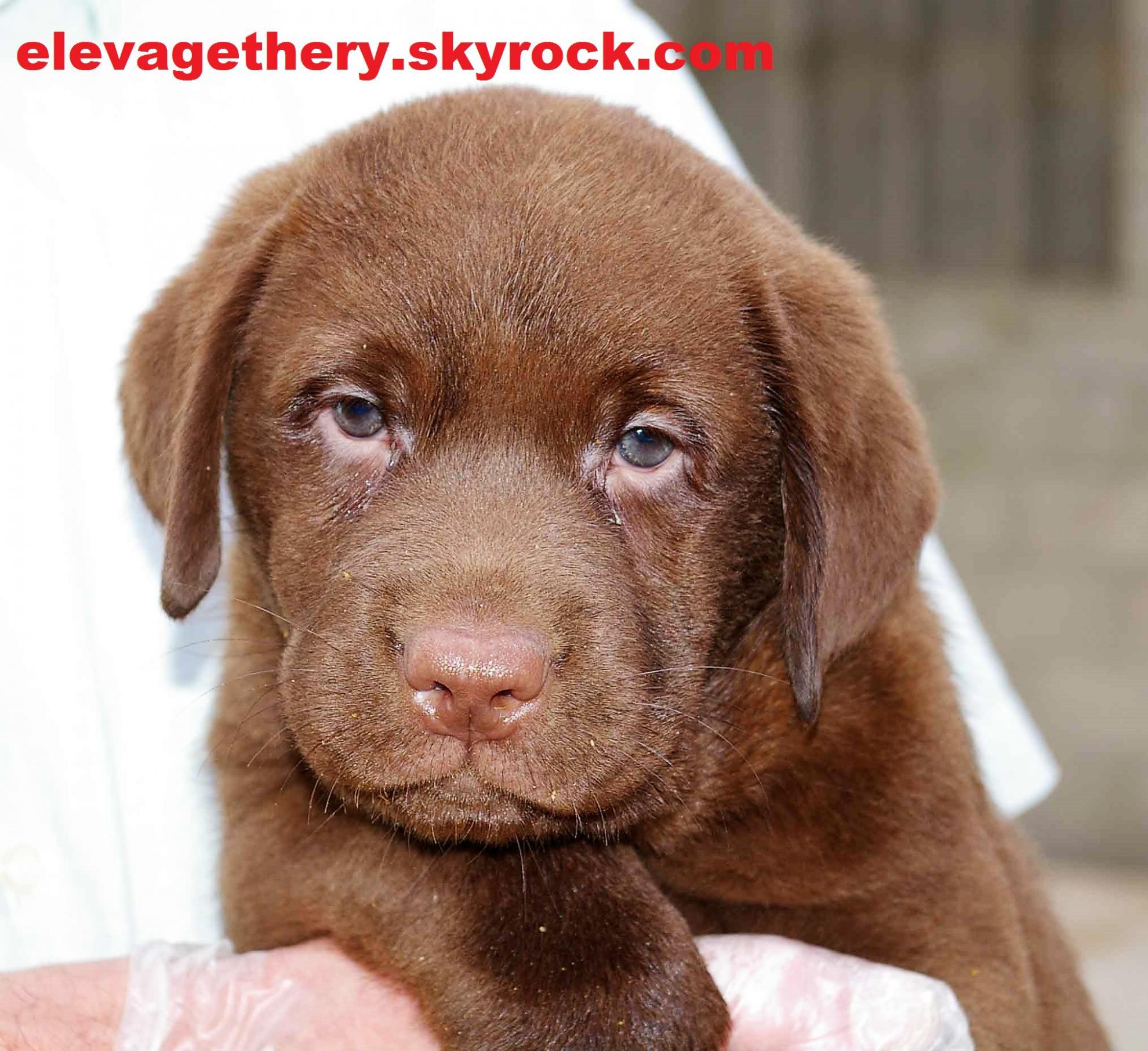 Chiot Labrador retriever : 1  mâle - femelles 2 241419