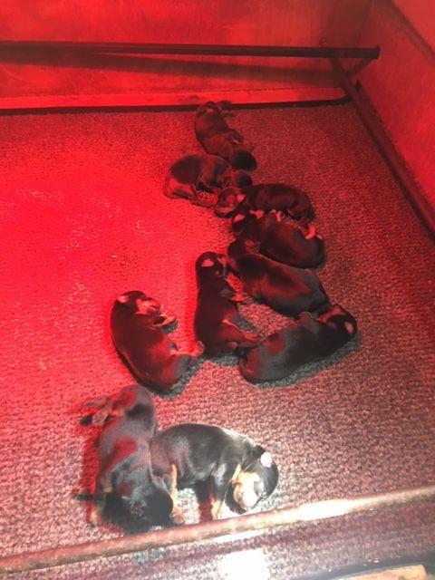 Chiot Jagd terrier : 6  mâles – femelles 4 246741