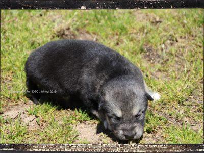 Chiot Malamute de l'Alaska : 1  mâle – femelle 0 246308