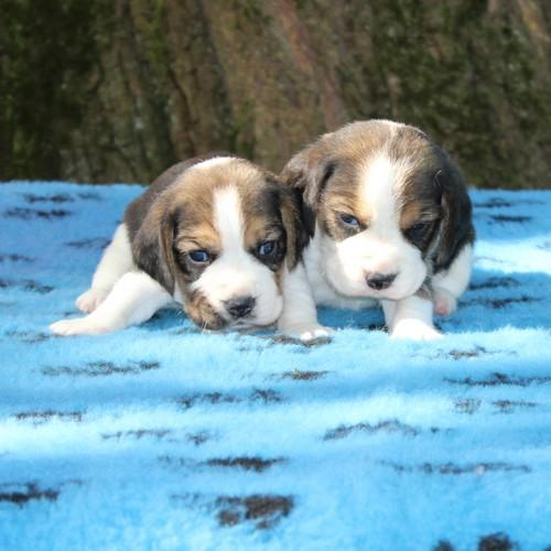 Chiot Beagle : 4  mâles - femelle 1 235807