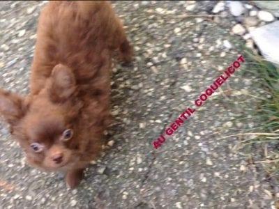 Chiot Chihuahua : 2  mâles – femelles 2 238777