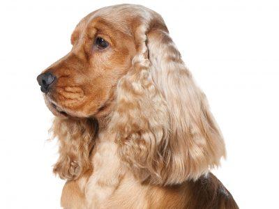 Les vermifuges du chien
