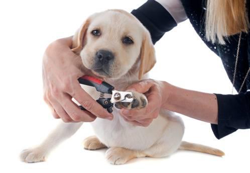 Comment couper les griffes de mon chien ?