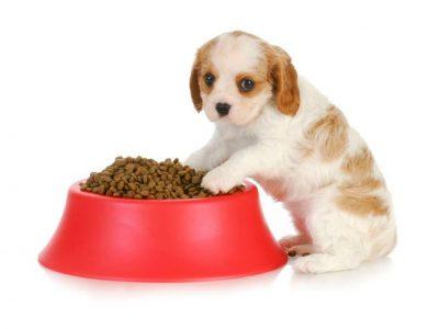 Apprendre au chiot à patienter avant de manger