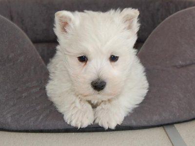 Chiot West highland white terrier : 2  mâles – femelle 0 242092