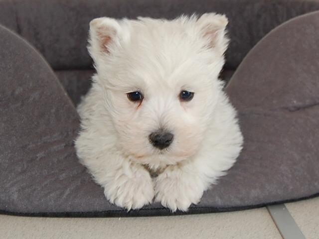 Chiot West highland white terrier : 2  mâles - femelle 0 242092