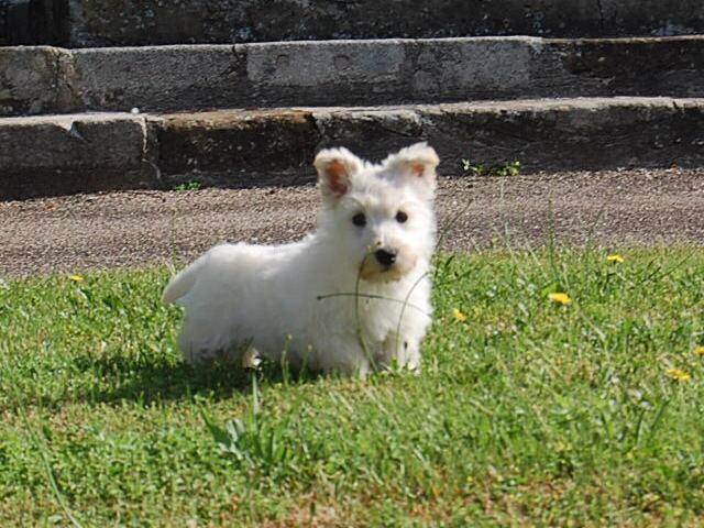 Chiot Terrier Ecossais : 0  mâle – femelle 1 246938