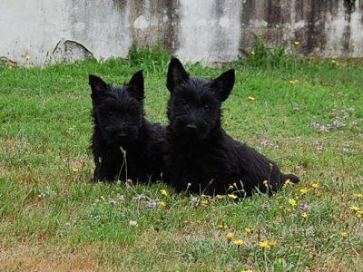 Chiot Terrier Ecossais : 0  mâle – femelles 2 247926