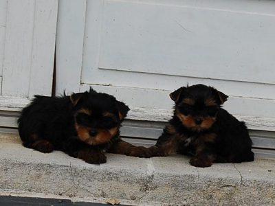 Chiot Yorkshire terrier : 3  mâles – femelle 1 247928