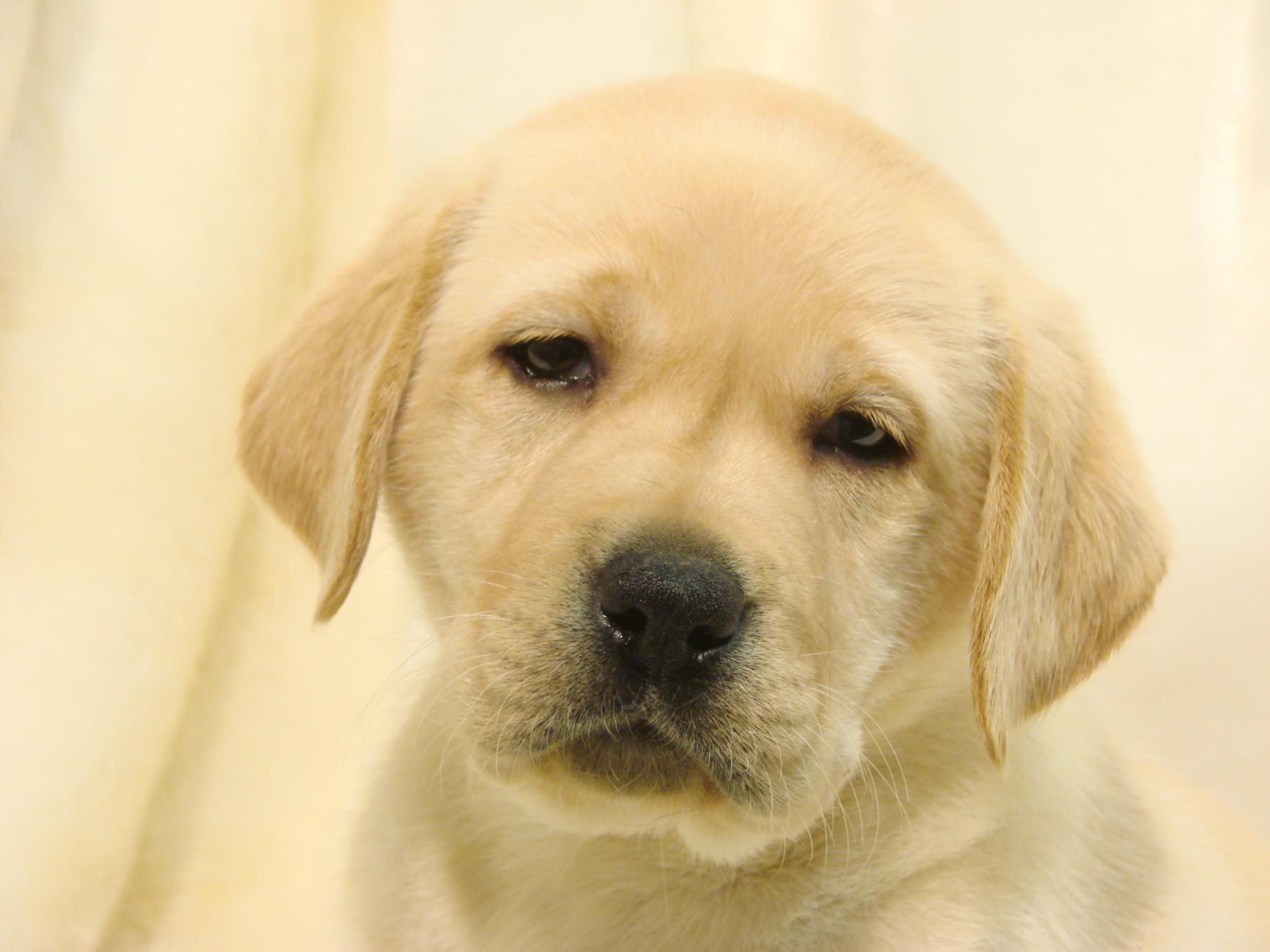 Chiot Labrador retriever : 4  mâles - femelles 4 239957