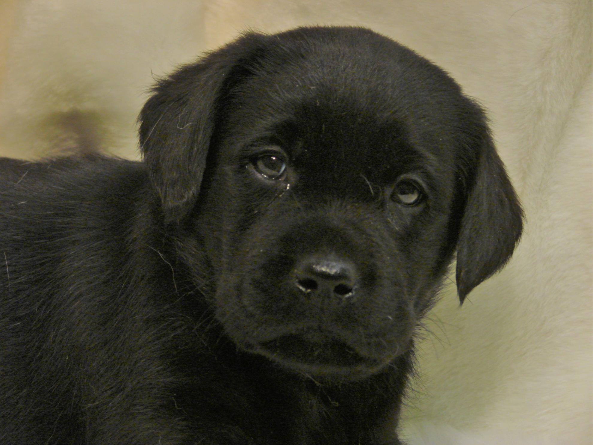 Chiot Labrador retriever : 2  mâles - femelles 3 241220