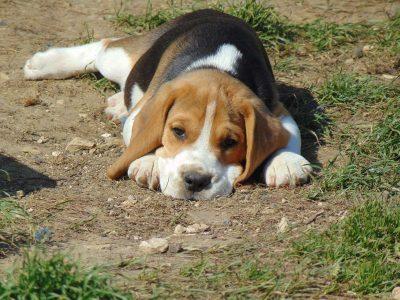 Chiot Beagle : 3  mâles – femelles 4 245999
