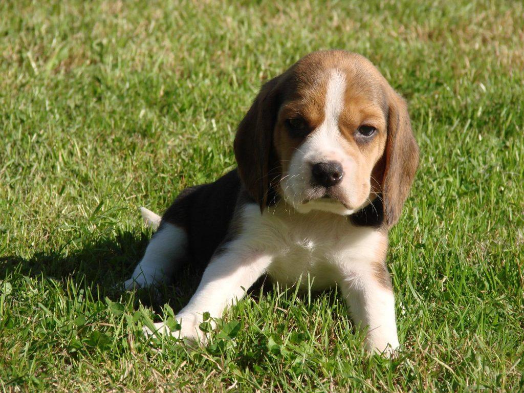 Chiot Beagle : 4  mâles – femelles 3 244062