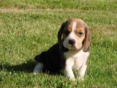 Chiot Beagle : 3  mâles – femelles 2 245949