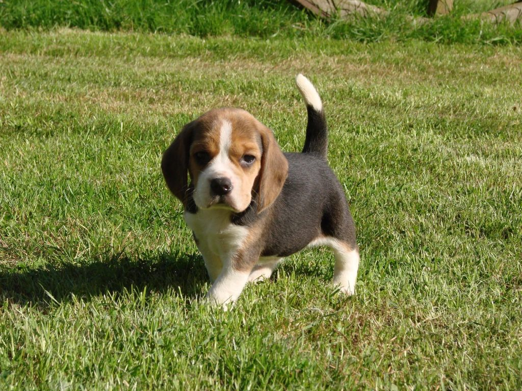 Chiot Beagle : 0  mâle – femelles 6 243905