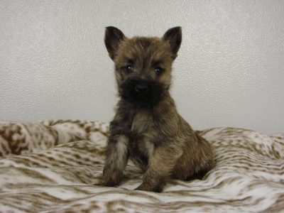 Chiot Cairn terrier : 4  mâles – femelle 1 244915