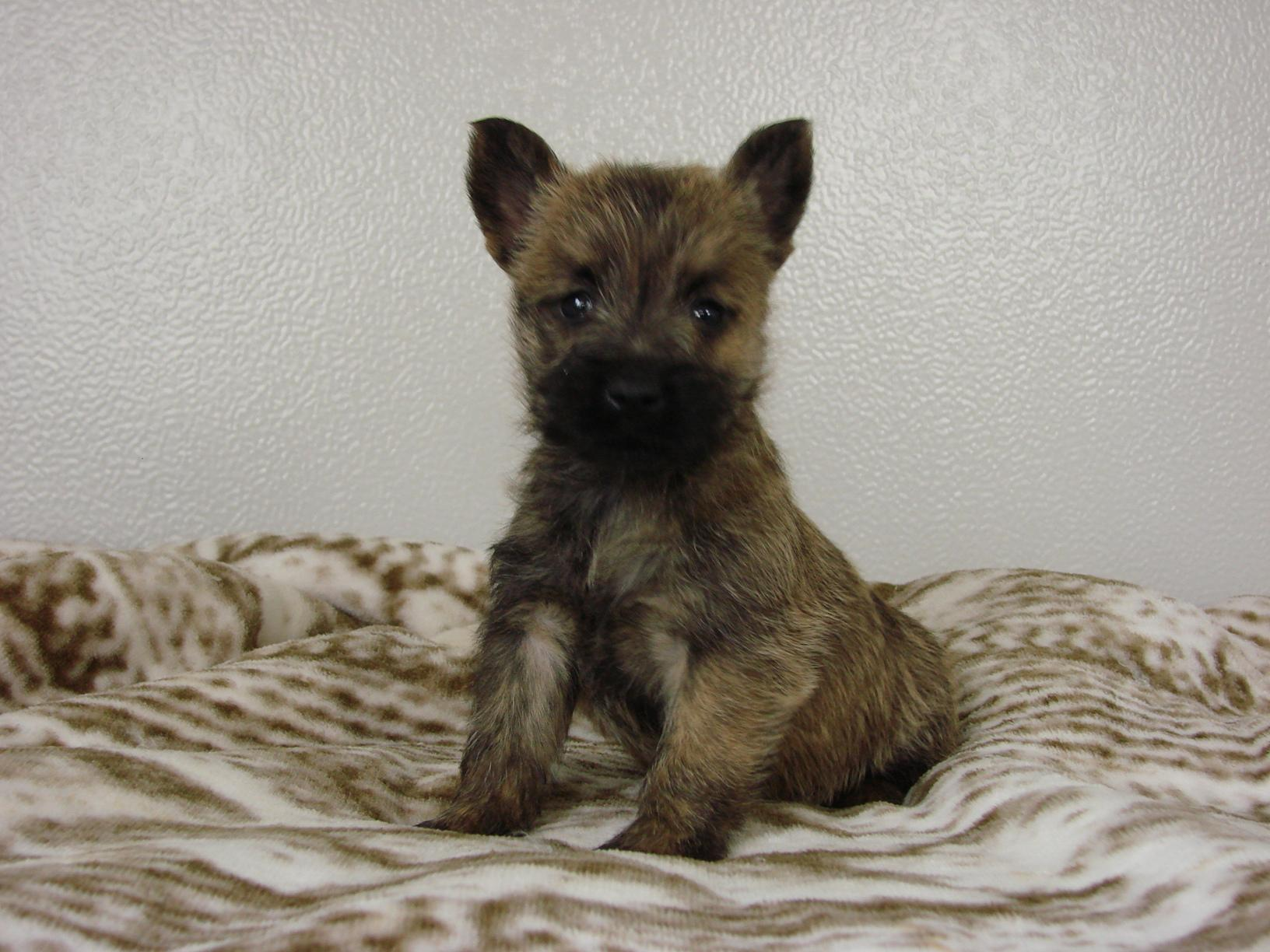 Chiot Cairn terrier : 4  mâles - femelle 1 244915
