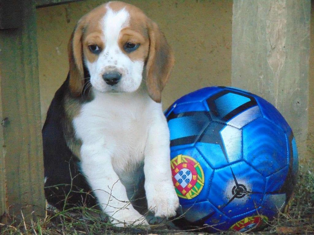 Chiot Beagle : 2  mâles – femelles 2 237818