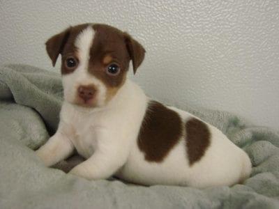 Chiot Jack russell terrier : 4  mâles – femelles 3 240940