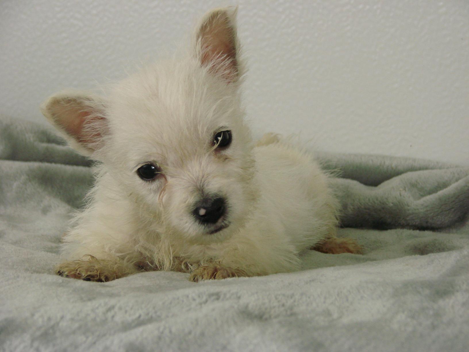 Chiot West highland white terrier : 3  mâles - femelles 2 244106