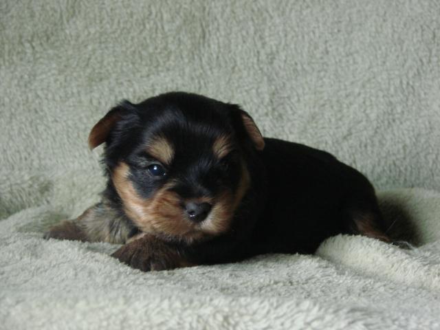 Chiot Yorkshire terrier : 1  mâle - femelle 0 244912