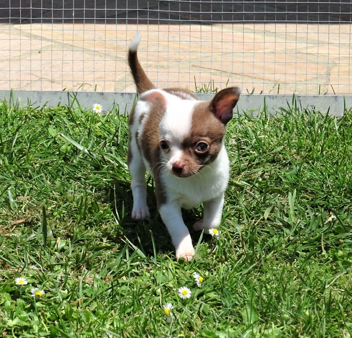 Chiot Chihuahua : 1  mâle - femelles 3 245209