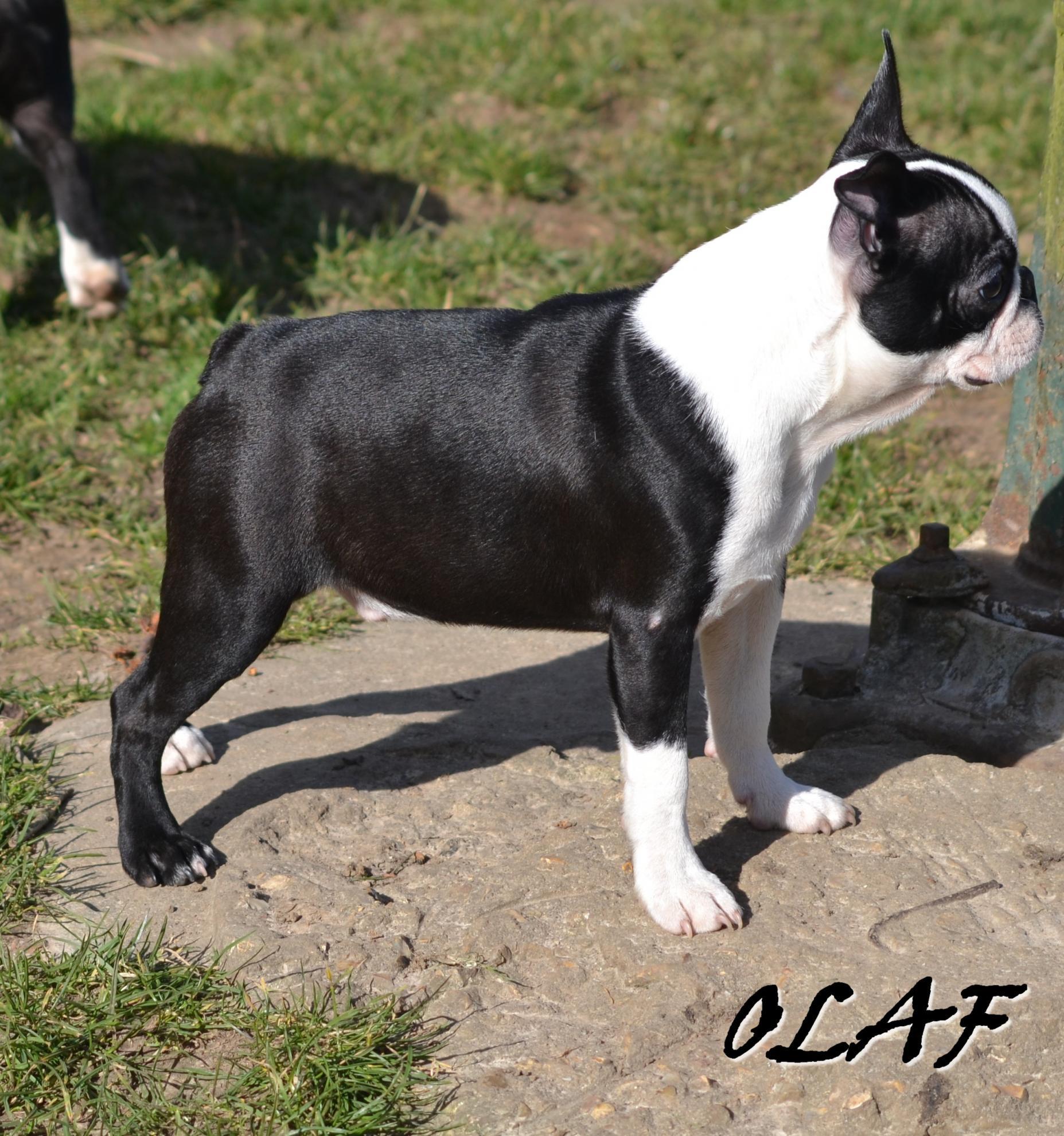 Chiot Terrier de Boston : 2  mâles - femelle 0 238481