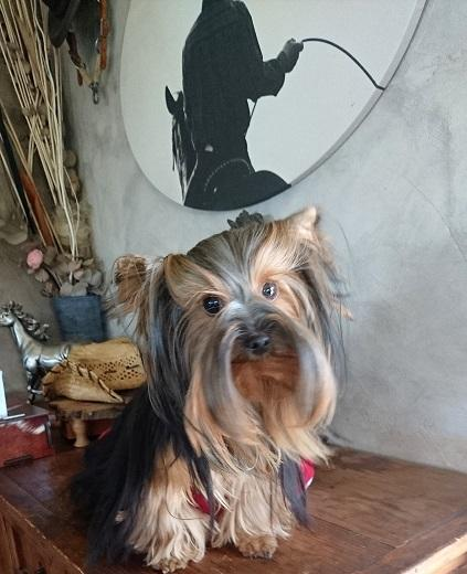 Chiot Terrier de Boston : 3  mâles - femelle 0 237363