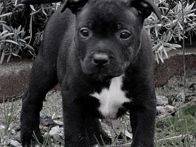 Chiot Staffordshire bull terrier : 3  mâles – femelles 4 240996