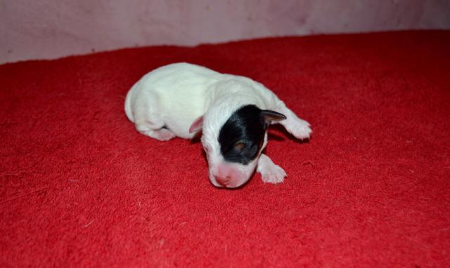 Chiot Jack russell terrier : 1  mâle – femelles 2 238165