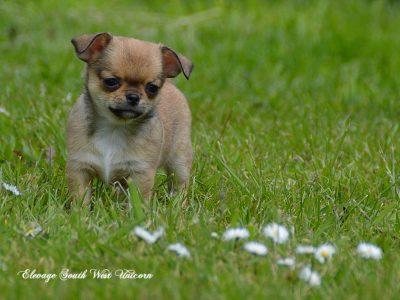 Chiot Chihuahua : 1  mâle – femelle 0 244066