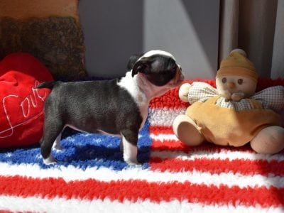 Chiot Terrier de Boston : 0  mâle – femelle 1 235724