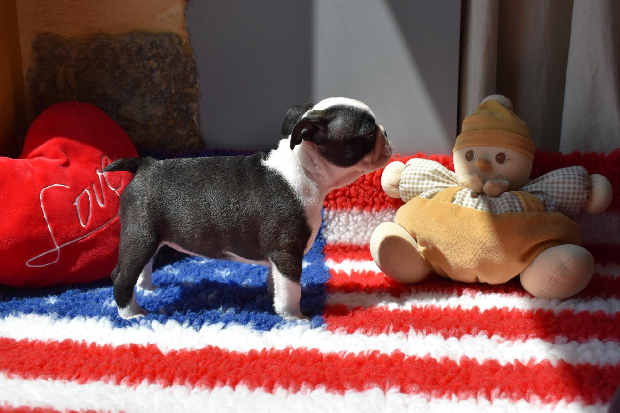 Chiot Terrier de Boston : 0  mâle - femelle 1 235724