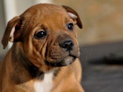 Chiot Staffordshire bull terrier : 3  mâles – femelle 1 240997