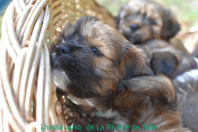 Chiot Lhassa apso : 4  mâles - femelles 2 249725