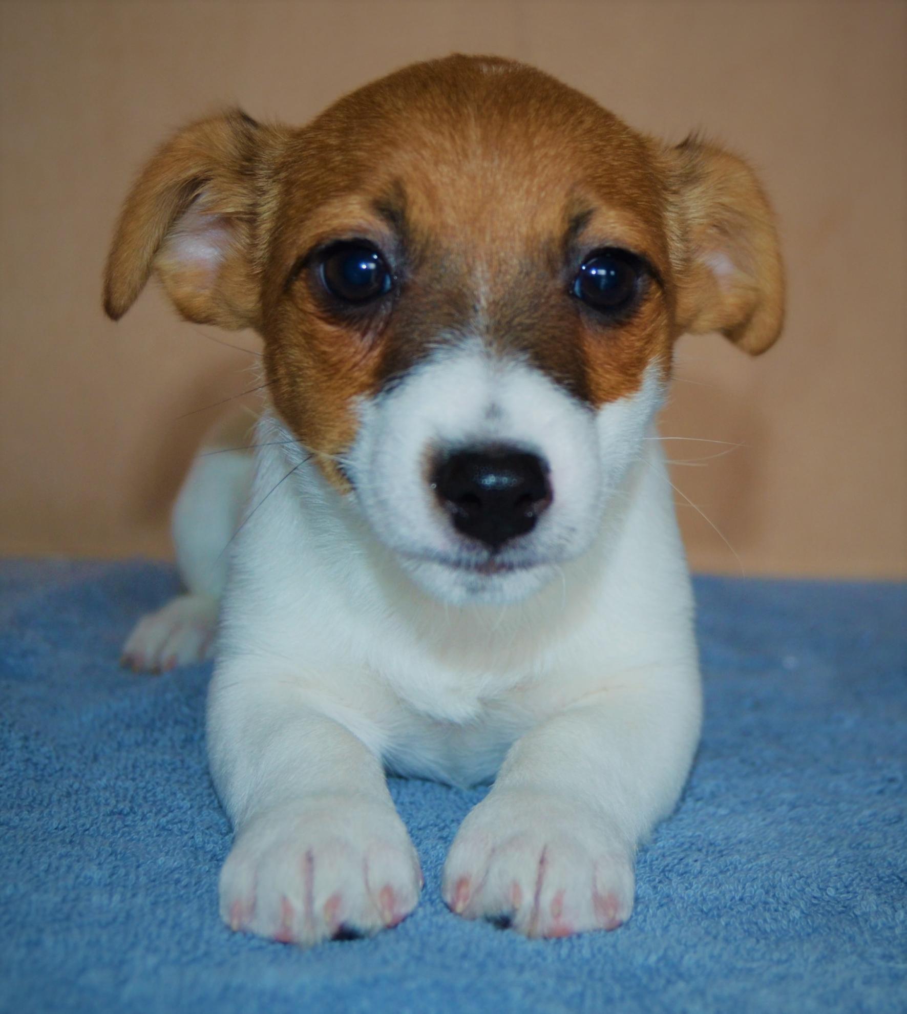 Chiot Jack russell terrier : 5  mâles - femelles 2 249026
