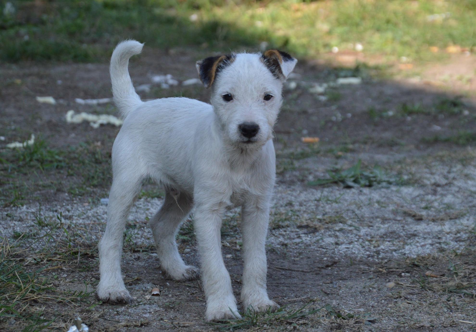 Chiot Parson terrier : 4  mâles - femelles 2 237092
