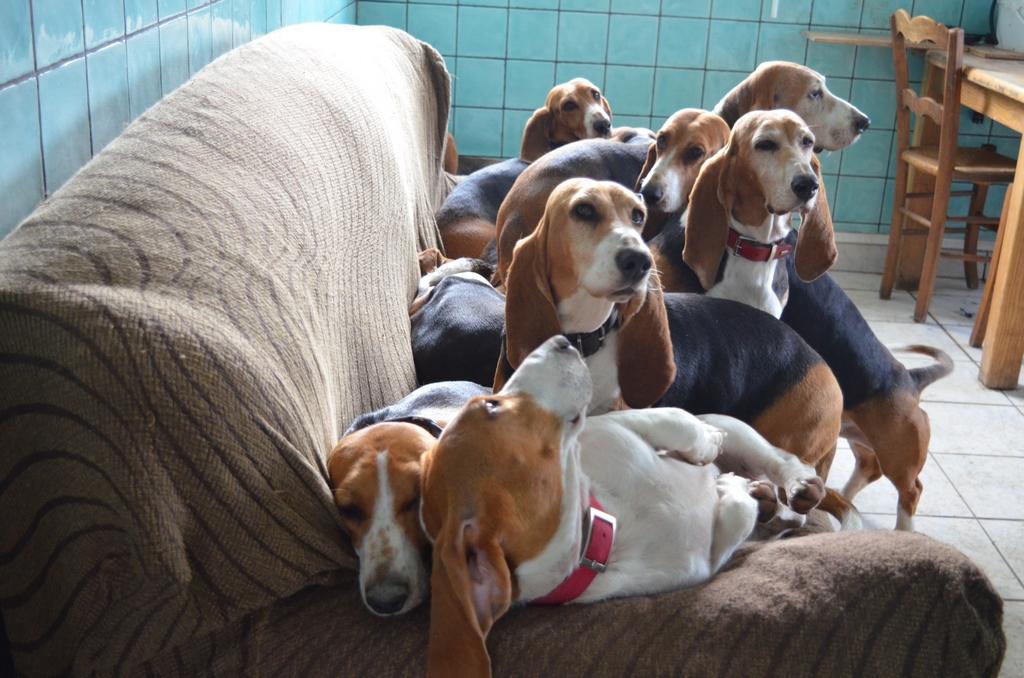 Chiot Jack russell terrier : 3  mâles - femelles 2 239351