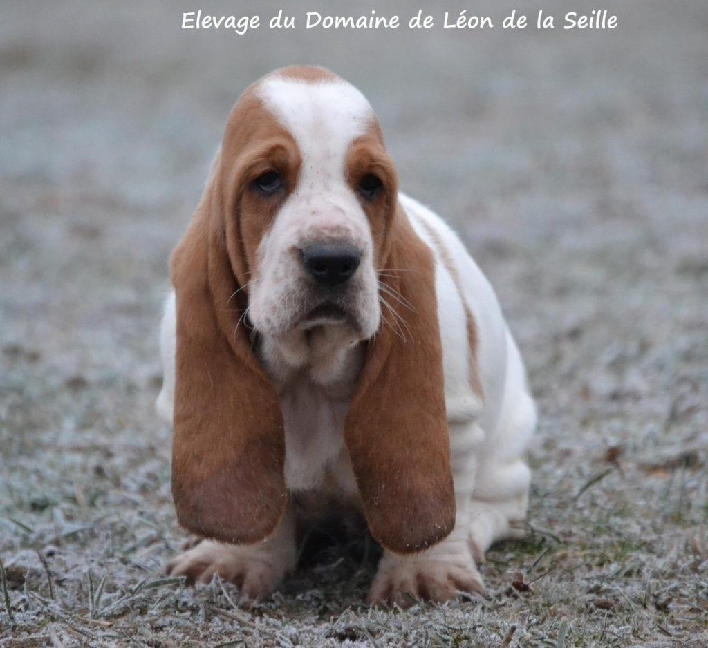 Chiot Basset hound : 2  mâles – femelle 0 240278