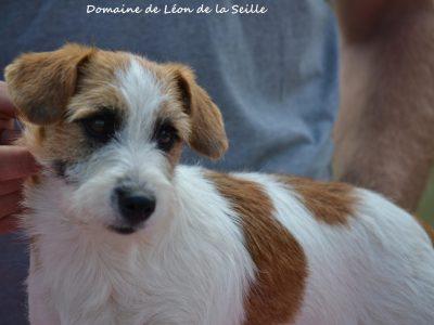 Chiot Jack russell terrier : 1  mâle – femelle 0 243911