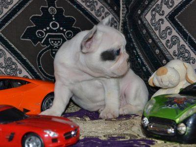 Chiot Bulldog : 1  mâle – 4  femelles 244897