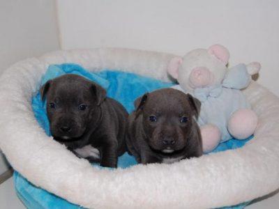 Chiot Staffordshire bull terrier : 4  mâles – femelles 4 248777